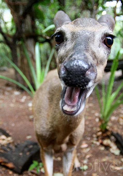 Deer Smiles - Costa Rica