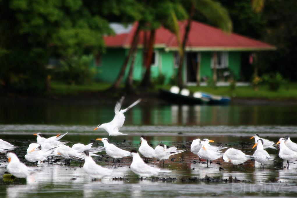 Flock - Costa Rica