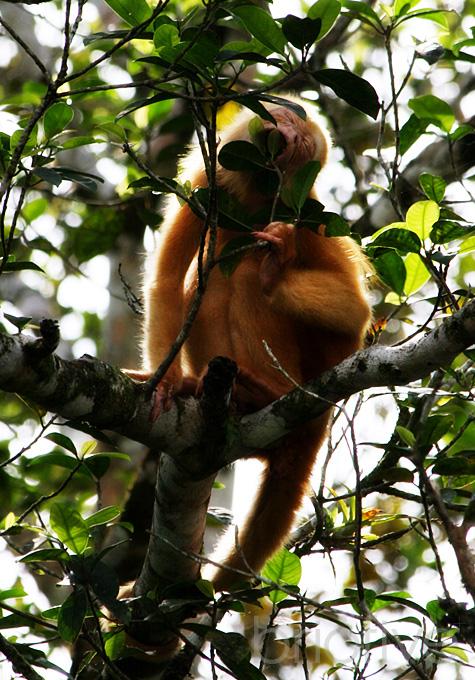 Blondie the Rare Gold Howler Monkey - Costa Rica