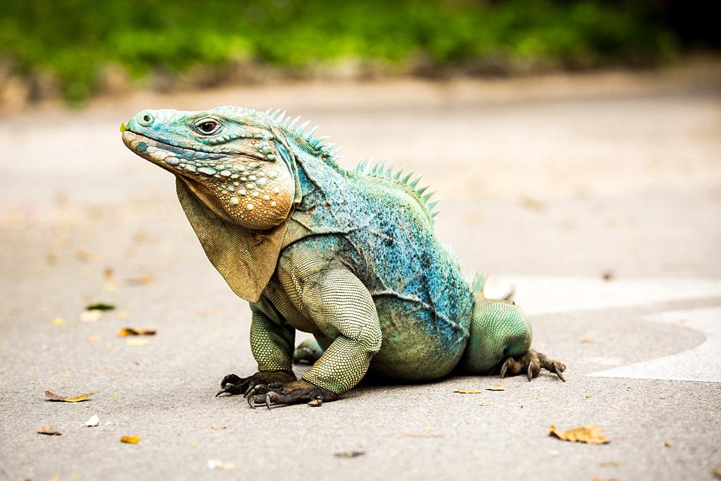 Kinky the Rare Blue Iguana - Grand Cayman Islands