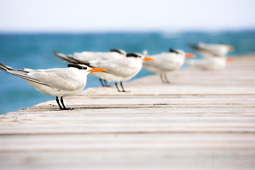 Royal Tern - Grand Cayman