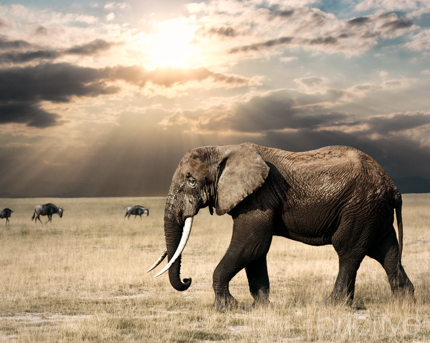 African Elephant - Tanzania