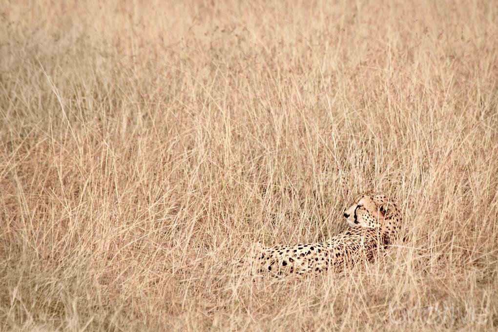 Cheetahs Resting - Kenya