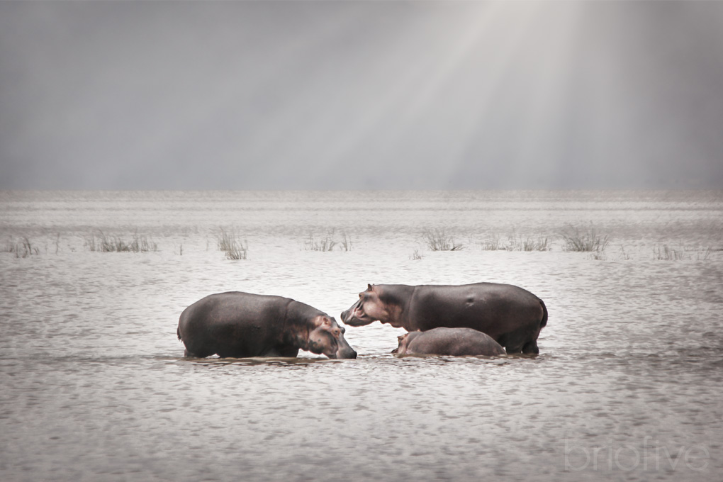 Hippo Family - Kenya