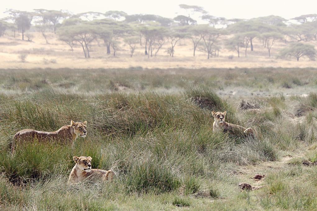 Lioness Pride - Tanzania
